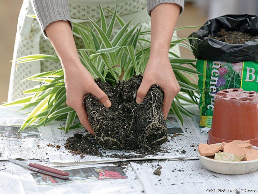 Diviser une plante d'intérieur