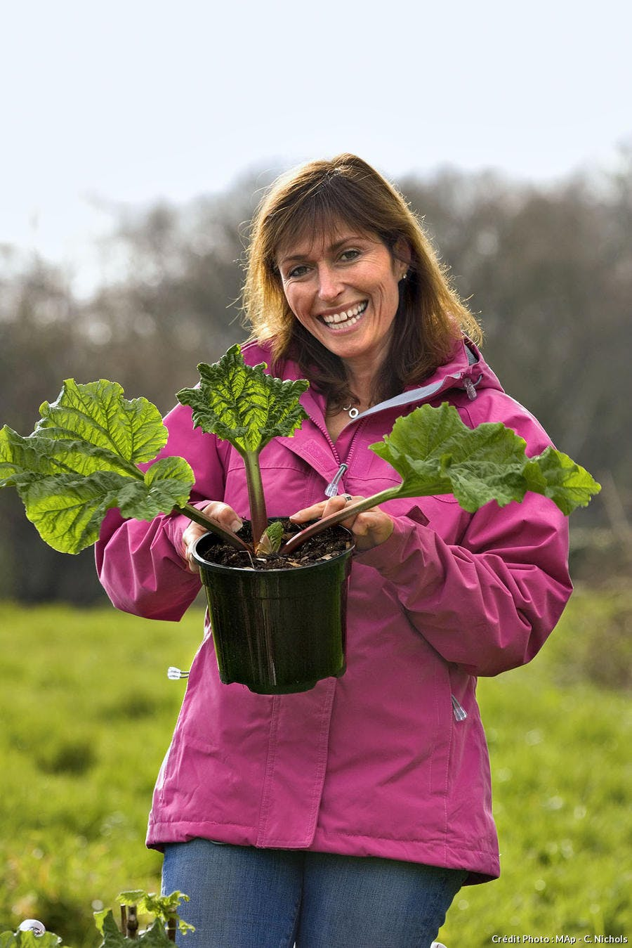 Culture Et Entretien De La Rhubarbe planter et diviser la rhubarbe - détente jardin