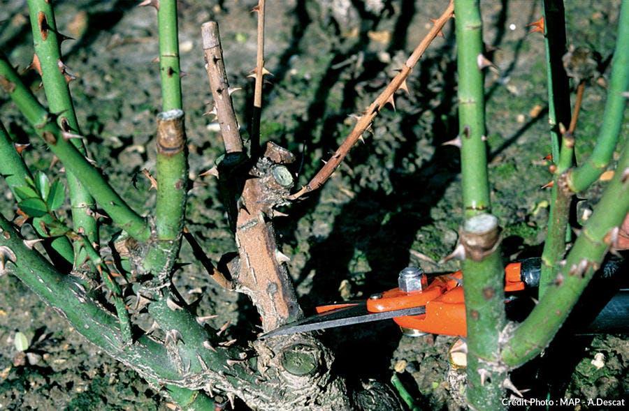 Tailler le bois mort d'un rosier