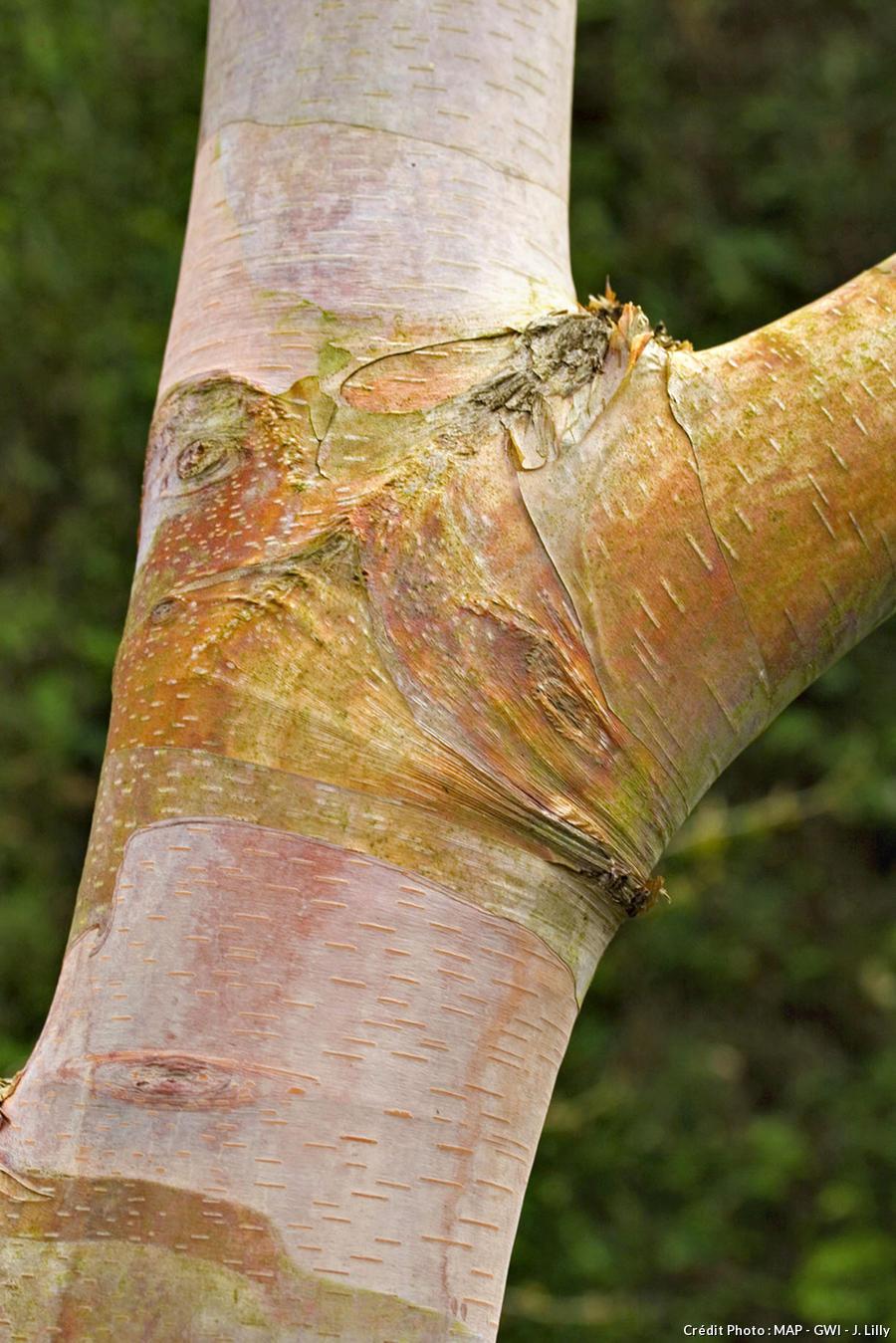 Bouleau Betula albosinensis var. septentrionalis