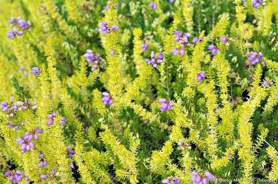 Bruyère Erica x darleyensis