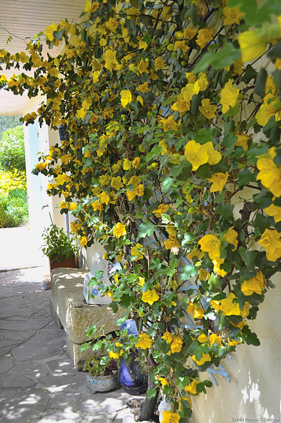 Le frémontodendron de Californie