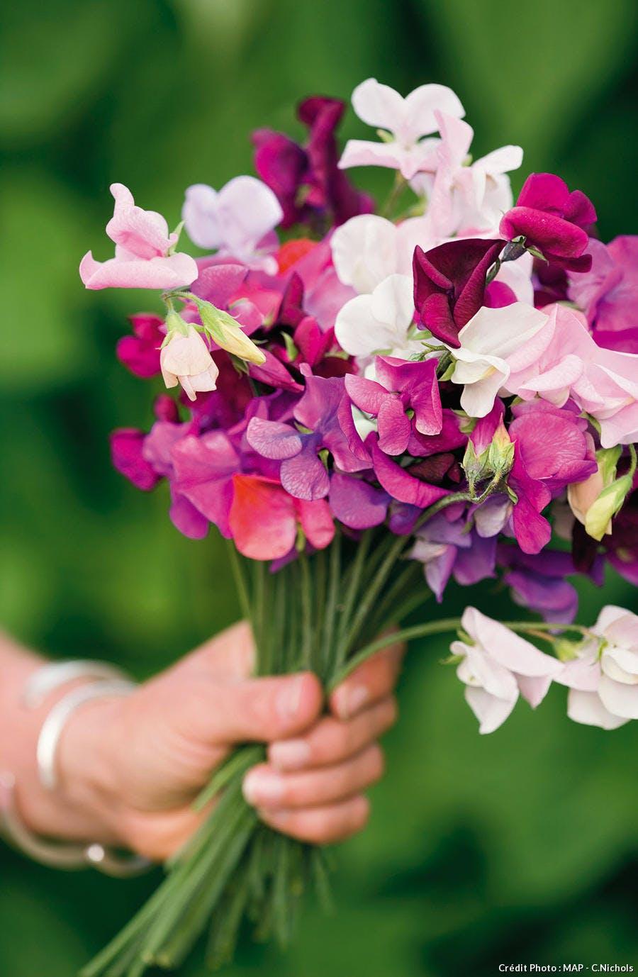 Pois de senteur de couleur blanche et violette