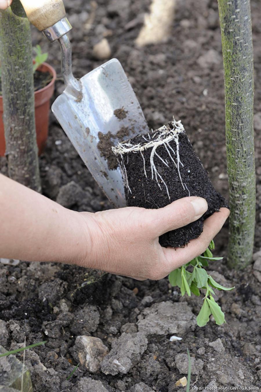 Planter des pois de senteur