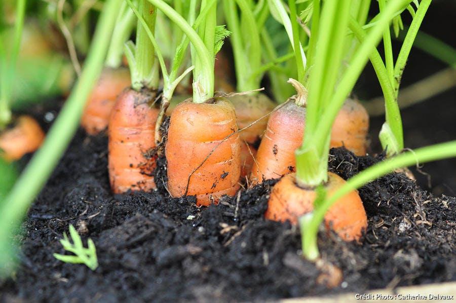 Semer les carottes avec la lune