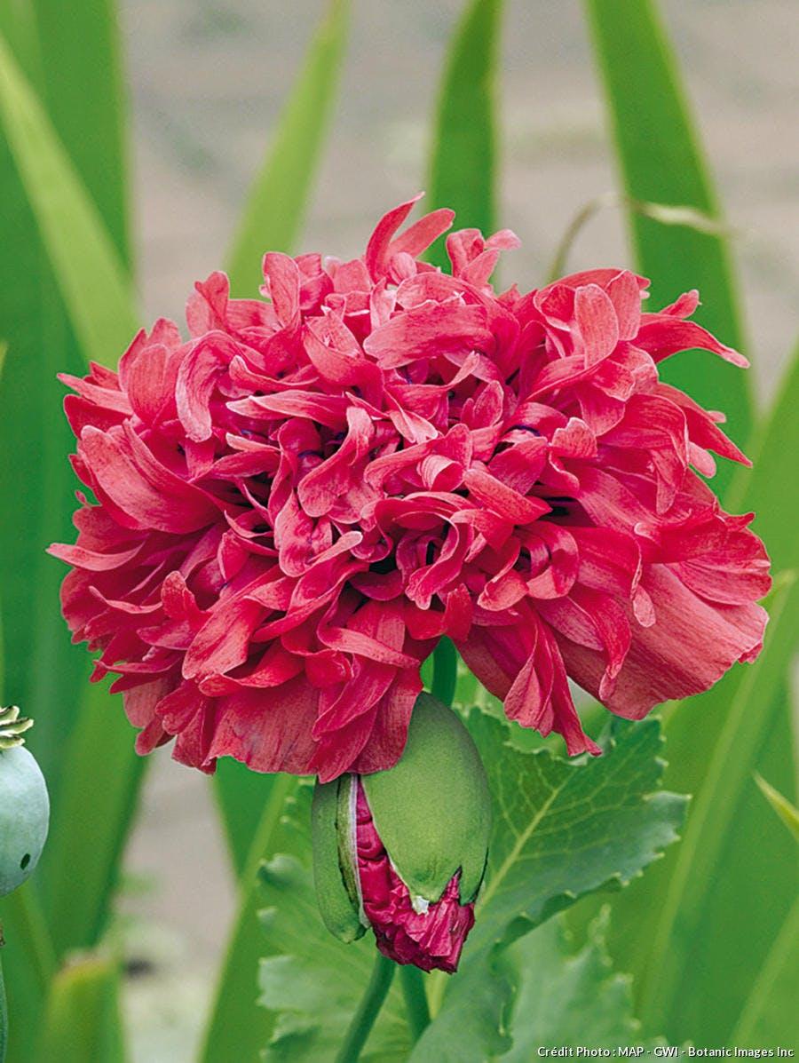 Pavot Raspberry