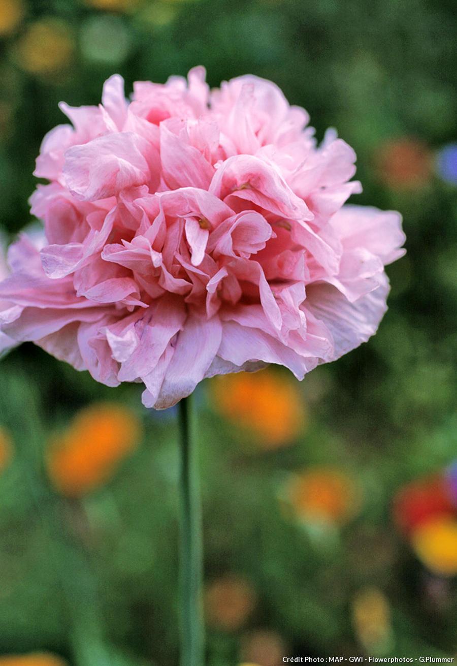 Pavot rose 'Paeony Flowered'