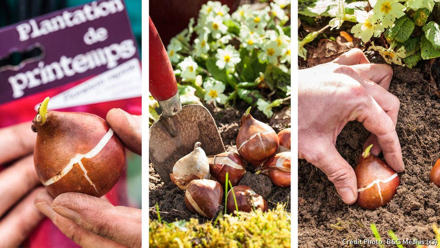 Plantation des tulipes