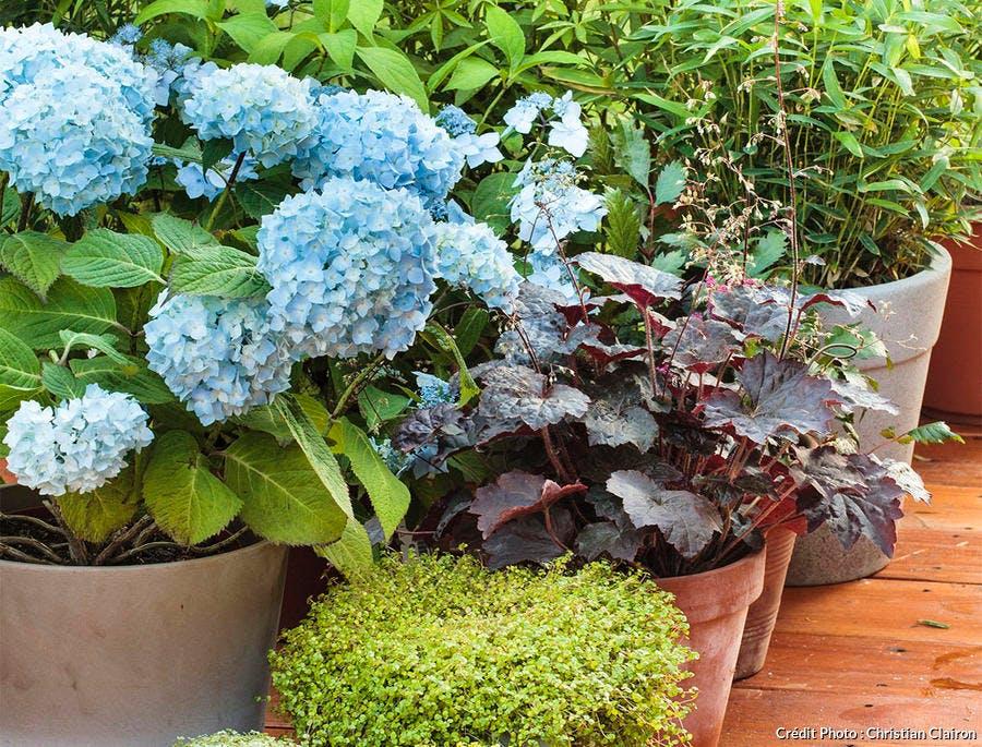 Des hortensias en pot