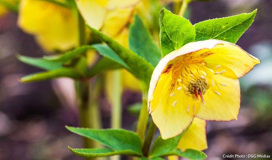 fleurs jaunes d'hellébores