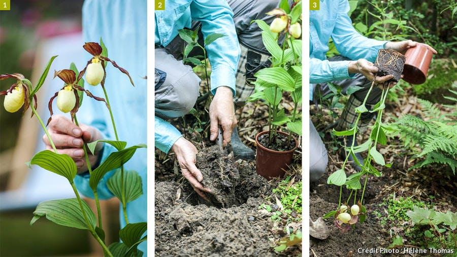 Plantation d'une orchidée
