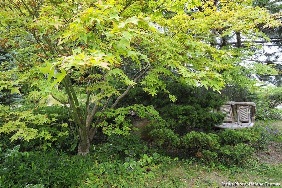 érable japonais jardin Loire