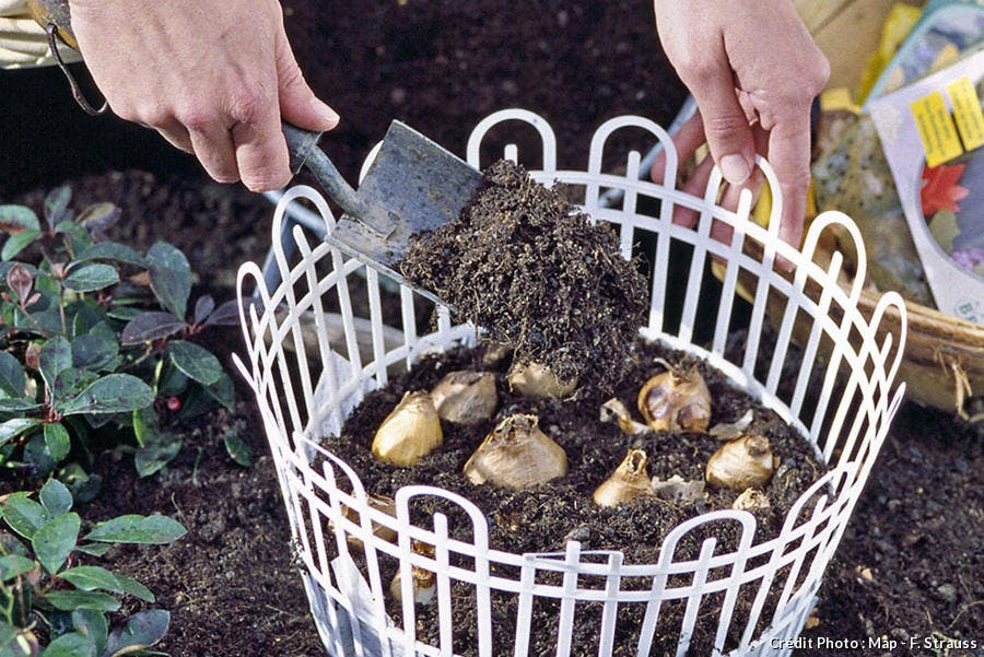 Plantation de bulbes