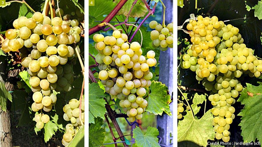 Variété de raisin