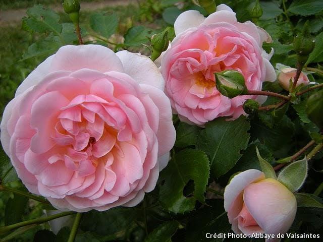 dj_abbaye-en-rose-2.jpg
