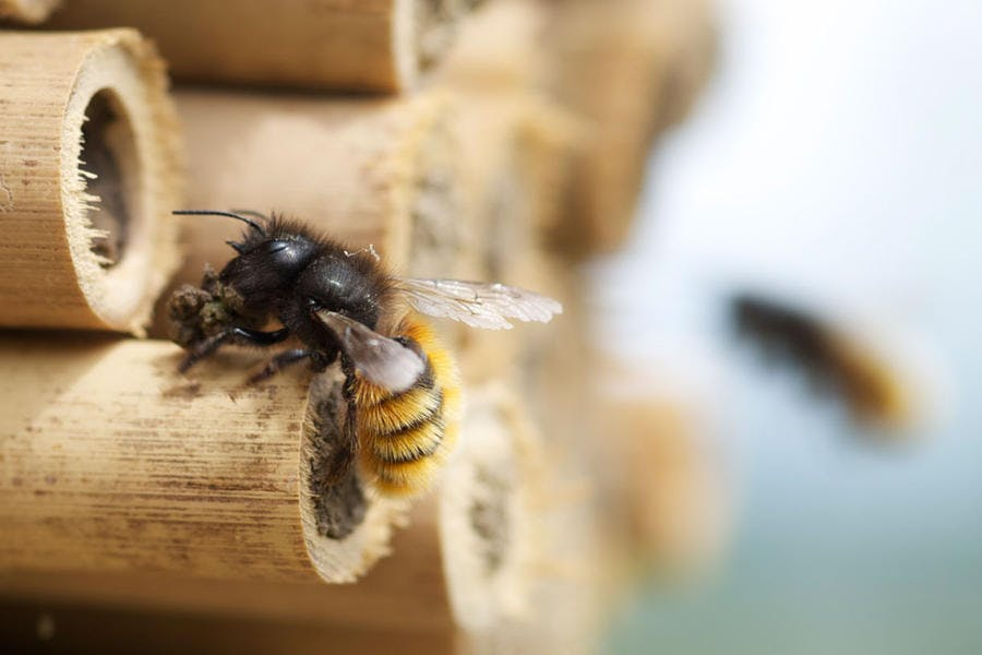 Abeille maçonne avec de l'argile devant un abri pour abeilles sauvages