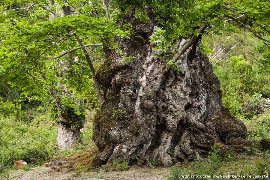 L'arbre à pain, Pianello (Corse)