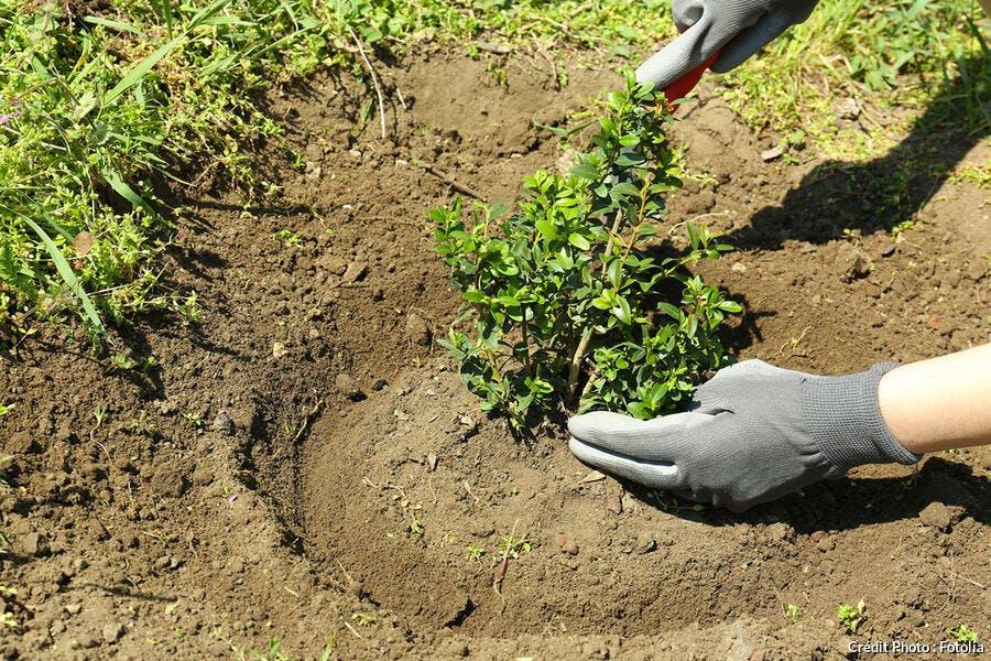 Tansplantation d'un arbuste