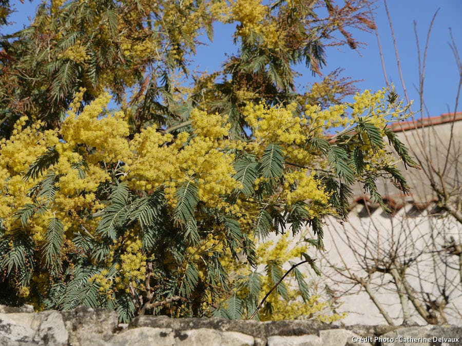 Mimosa branche jardin cd