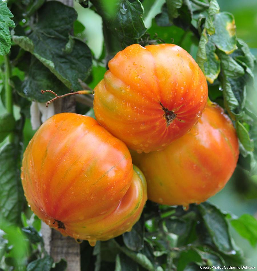 Des tomates ananas