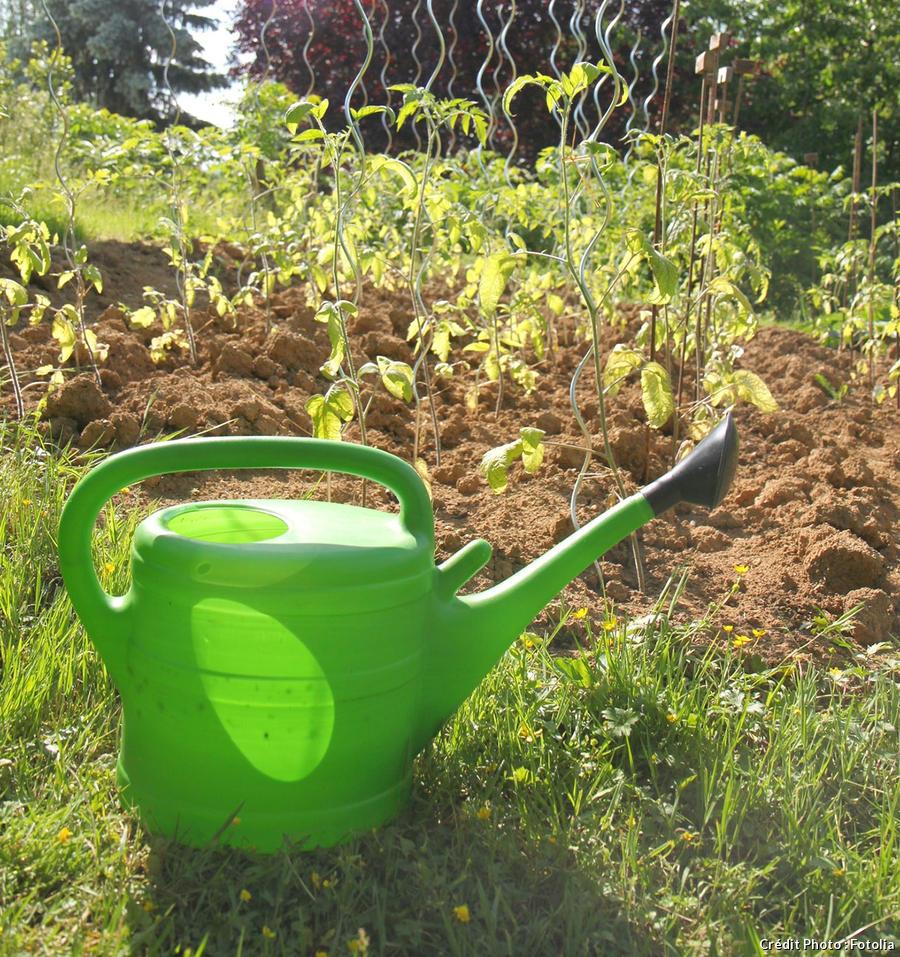 Entretien plant de tomate