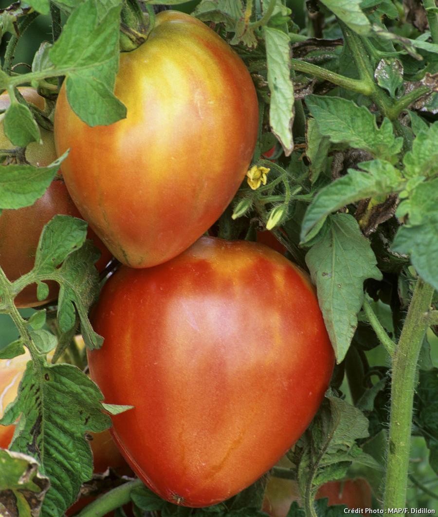 Tomate Coeur de Boeuf cultivée avec la lune