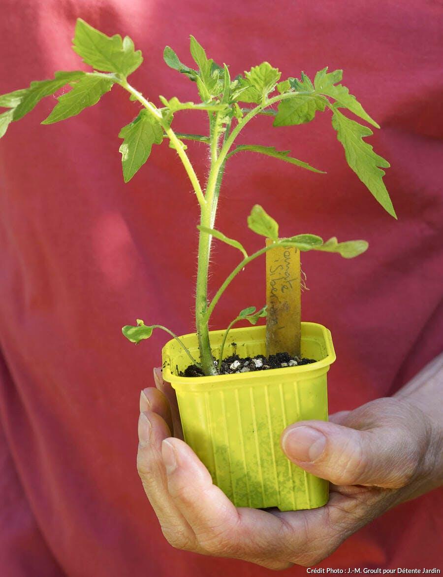plantation de tomate en godet