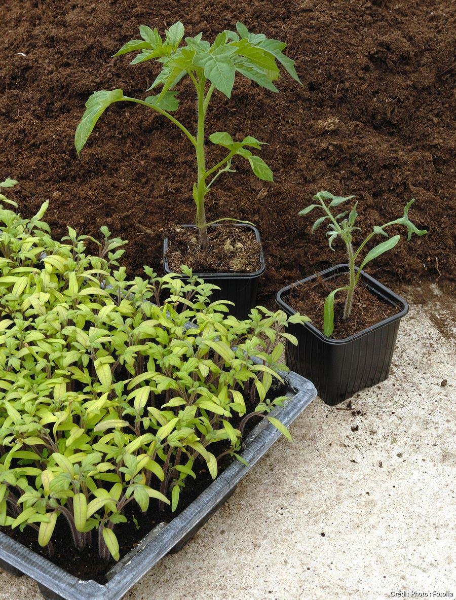 Faire Pousser Tomates En Pot semer et planter les tomates avec la lune en 7 étapes