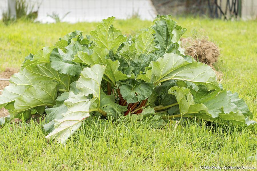 Compost sur pied de rhubarbe