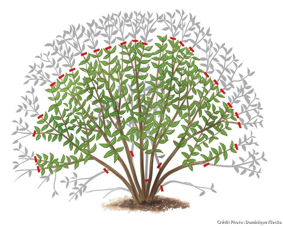 Tailler un arbuste à floraison estivale