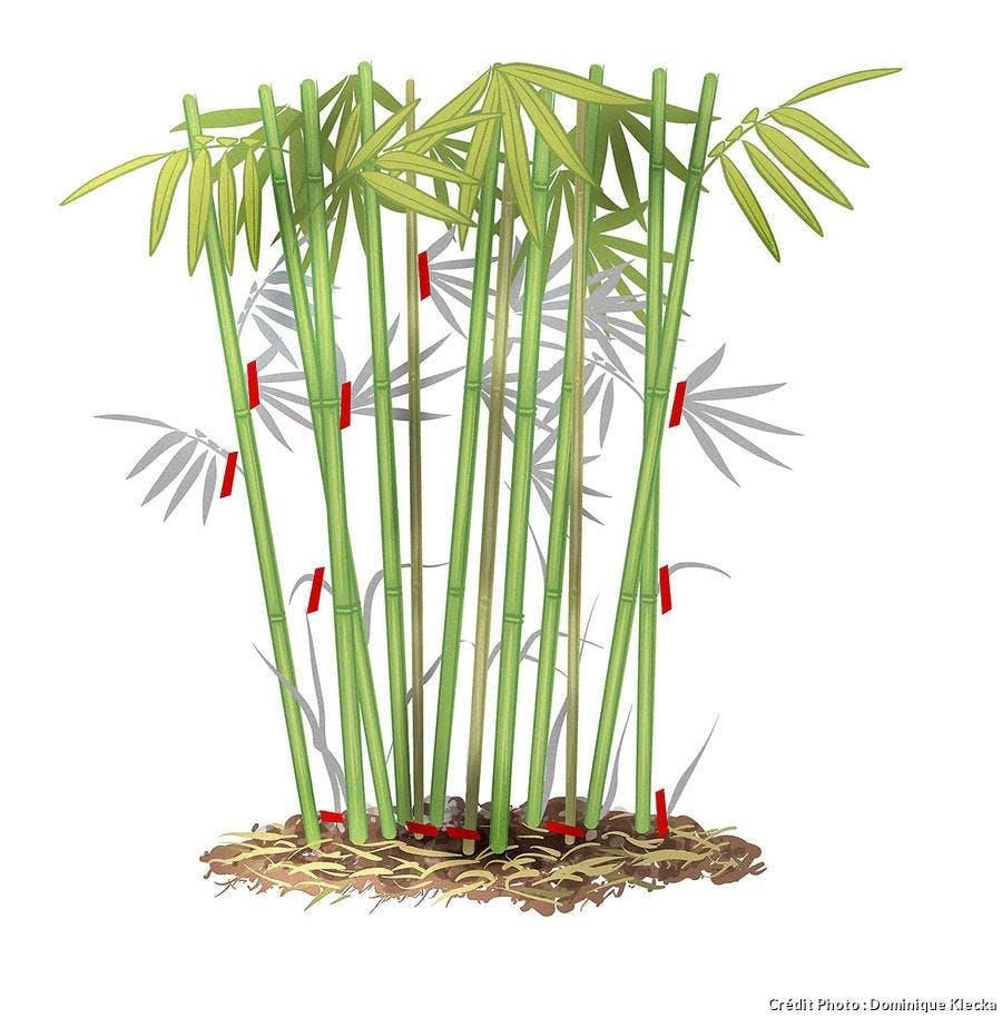Comment tailler les bambous en dessin