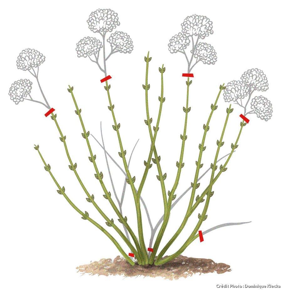 Comment tailler les hortensias