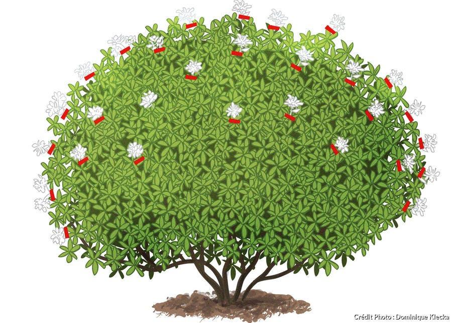 La taille du rhododendron en dessin