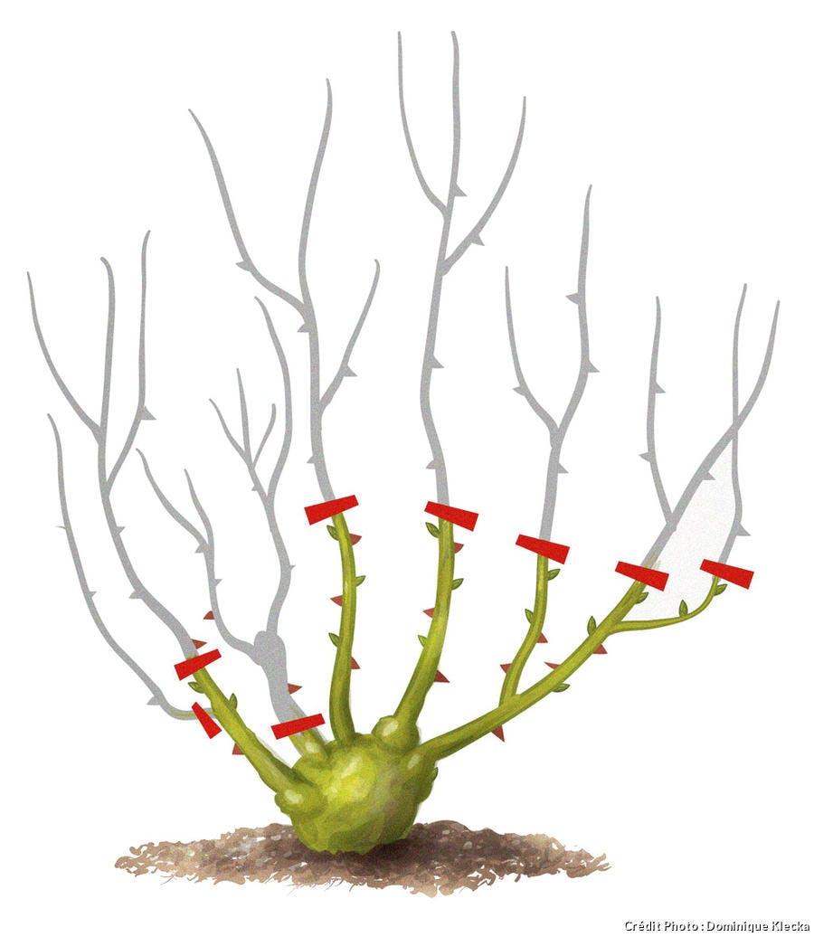 Quand Et Comment Tailler Un Rosier rosier remontant : tailler les rosiers remontants | détente