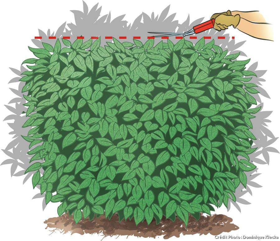 dessin topiaires à grandes feuilles