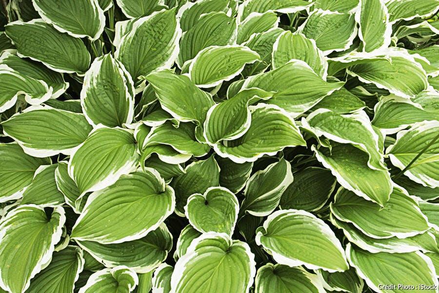 Plantes vivaces couvre sol, vivaces d\'ombre - Plantes | Détente Jardin