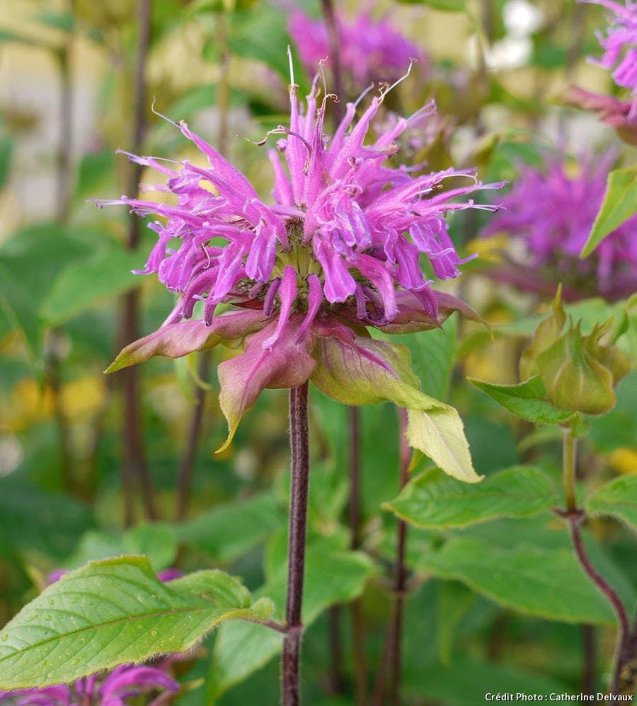 Monarde en fleur