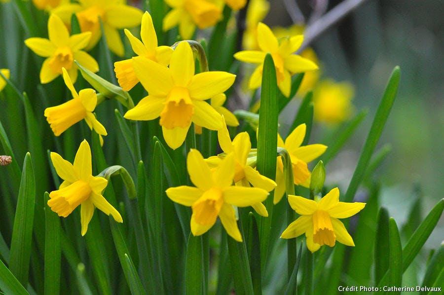 Narcisse en fleurs