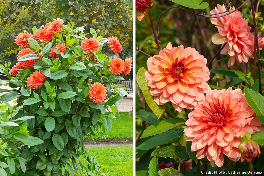 dahlia rose oranger