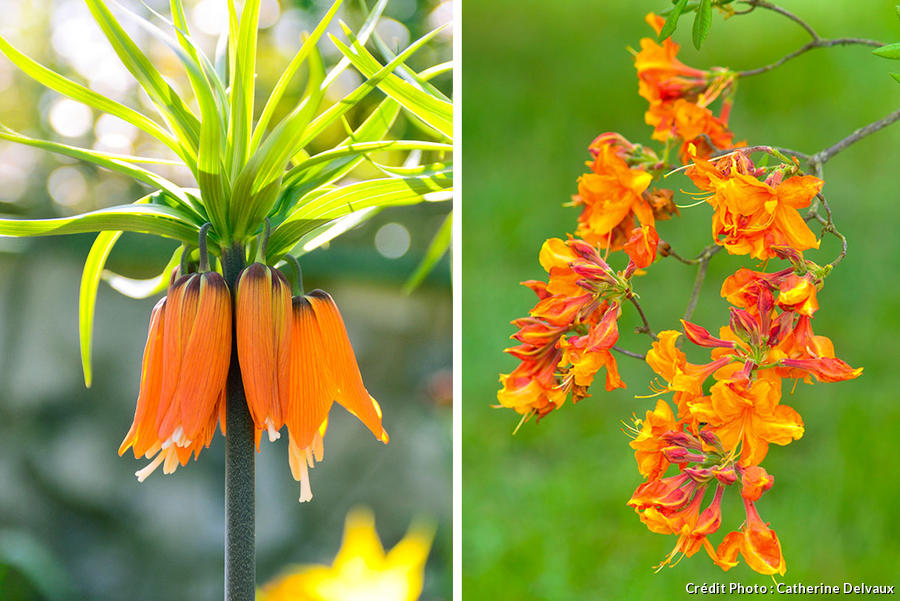 fritillaire orange