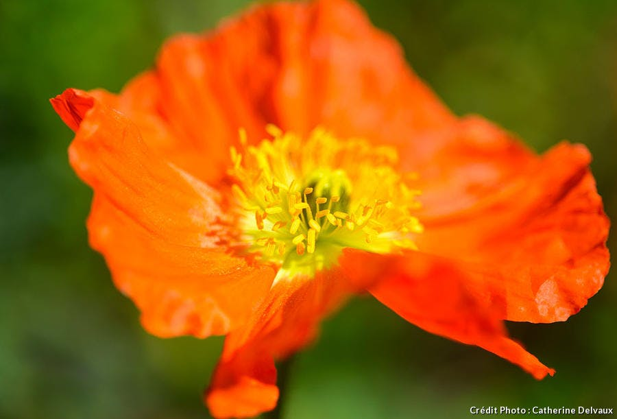 pavot orange