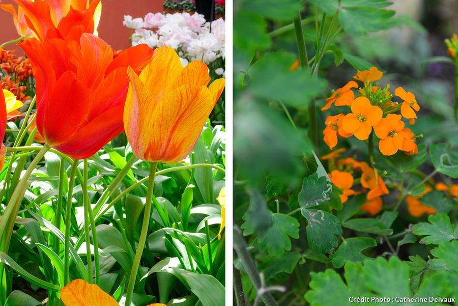 tulipe et giroflée orange