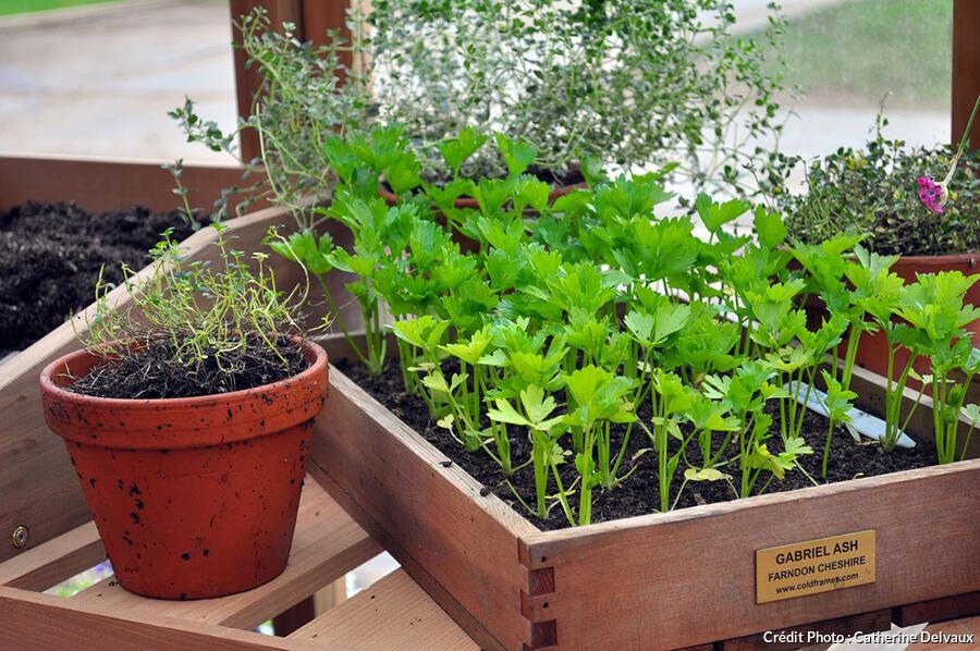 Caissette de semis de persil