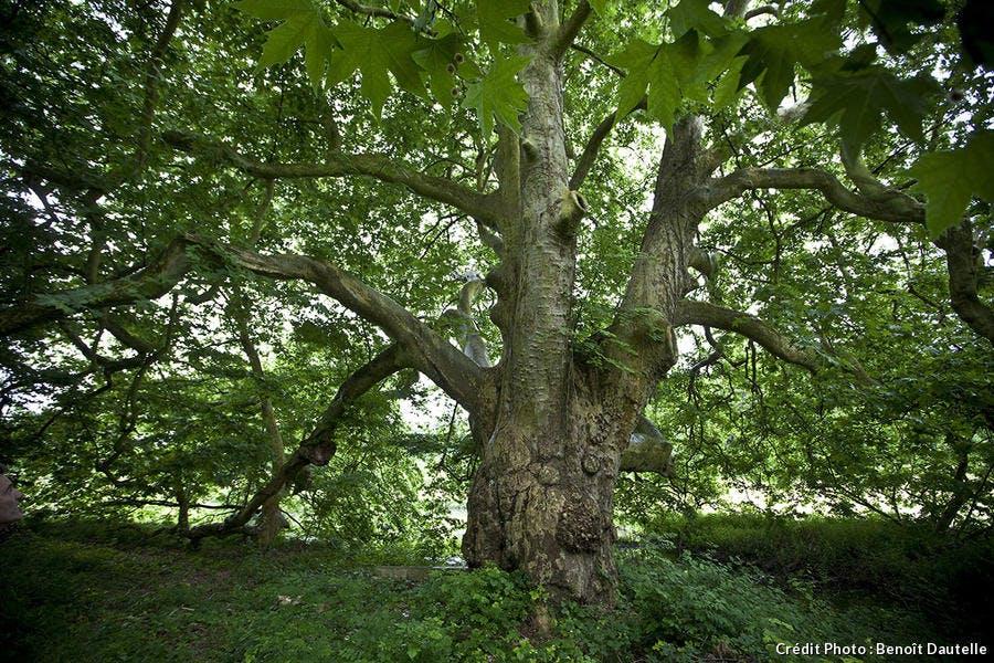 Platane d'Orient, arbre de l'année 2014 Ile de France