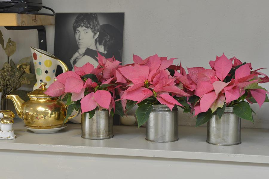 étoiles de Noël à fleurs rose en pot