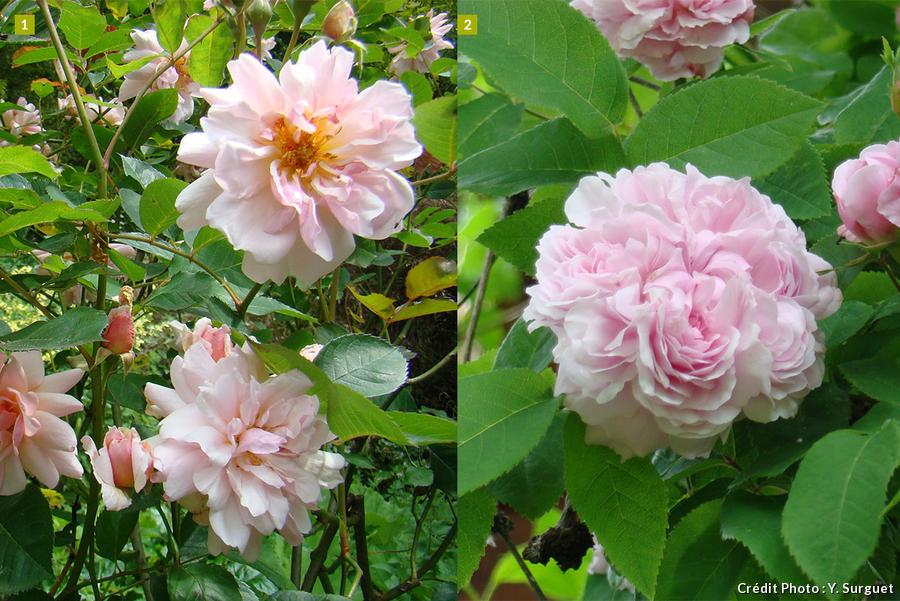 dj_rose_ancienne_composition1_dr.jpg