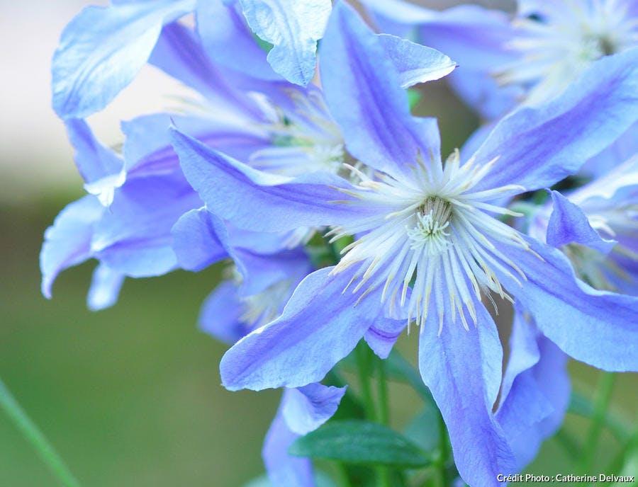 Clematite à fleurs bleues