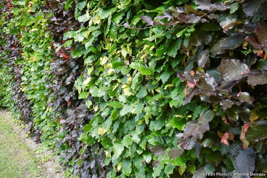 haie à grandes feuilles