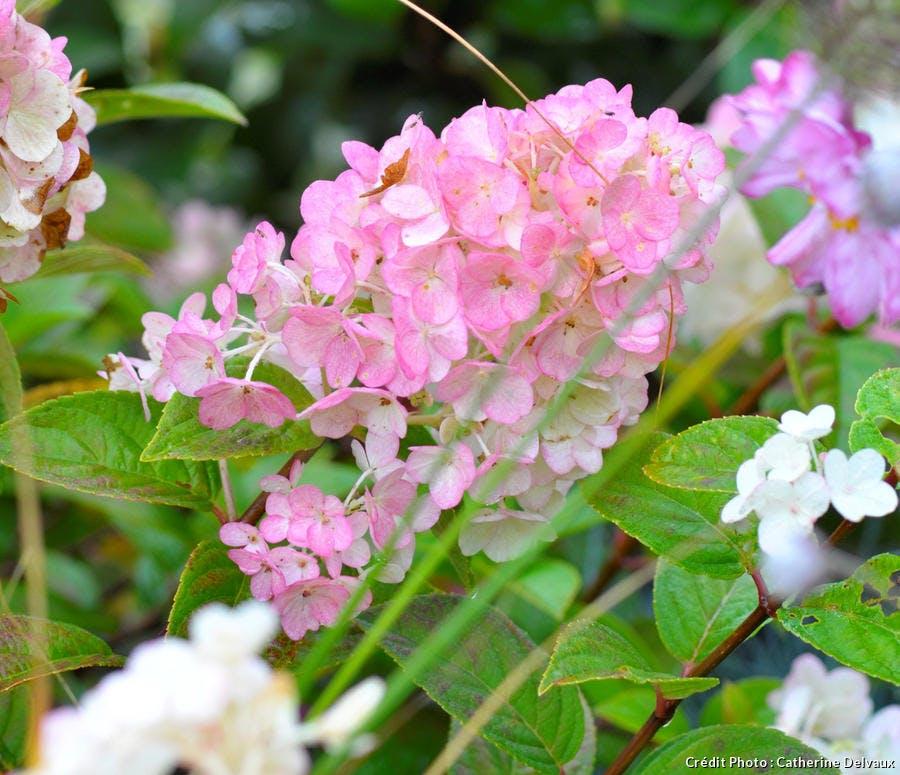 hortensia de couleur rose