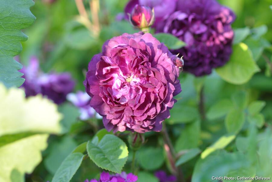 rosier ancien non remontant